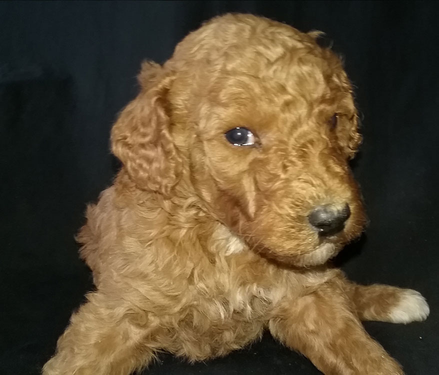 Moyen Poodle Puppies Available