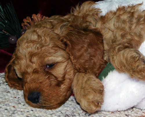 Availabe Irish Doodle Puppies for Sale by Darling Doodles