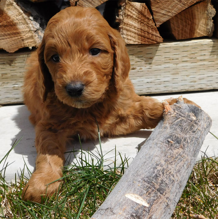 Irish Doodle Newborn Puppies
