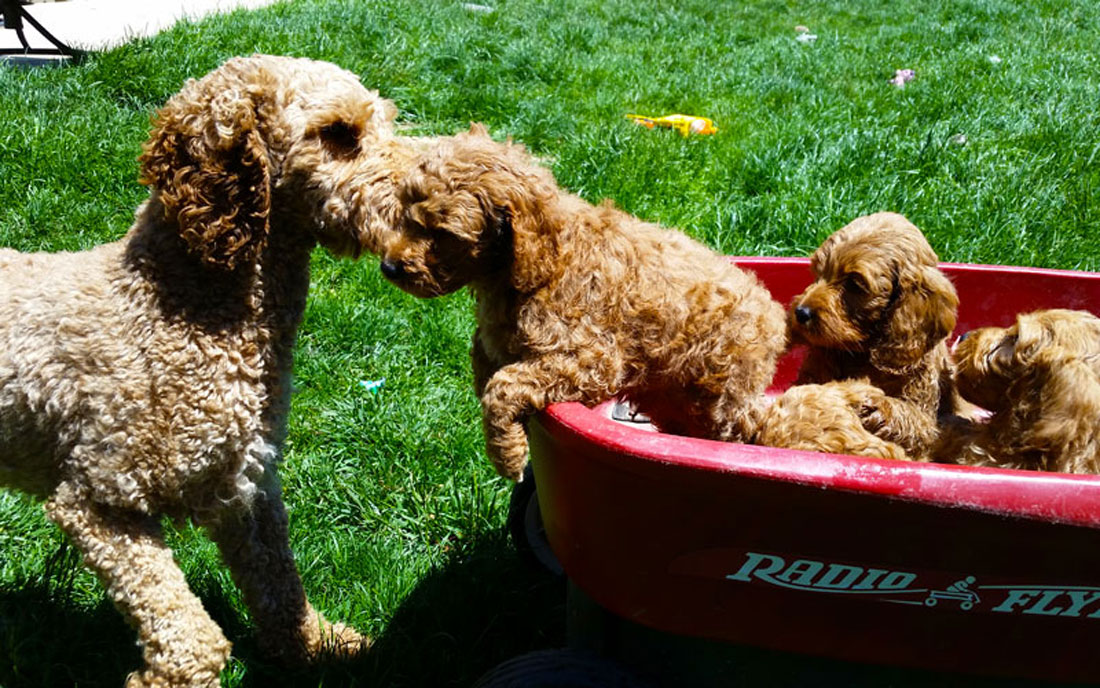 Mini Irish Doodle Puppies and Moyen Poodle Puppies by