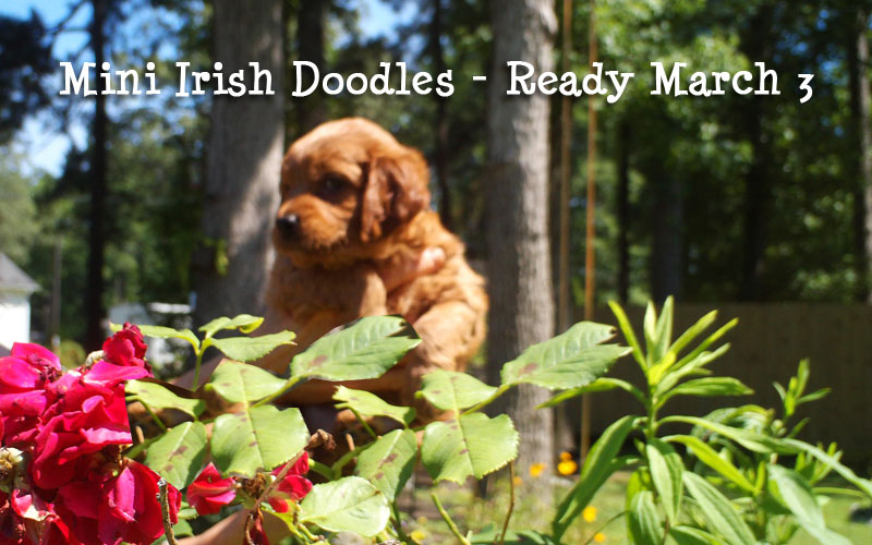 Mini Irish Doodle Puppies
