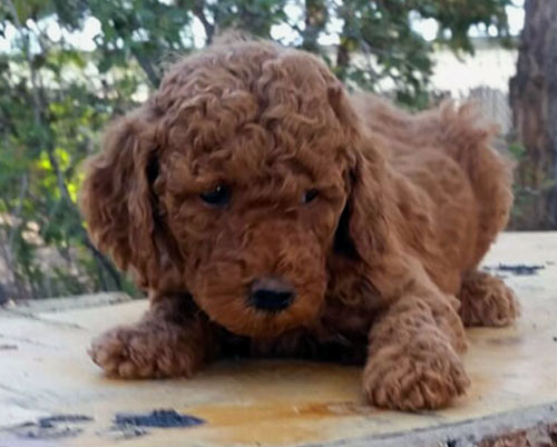 Moyen Poodle Puppies for Sale by Darling Doodles