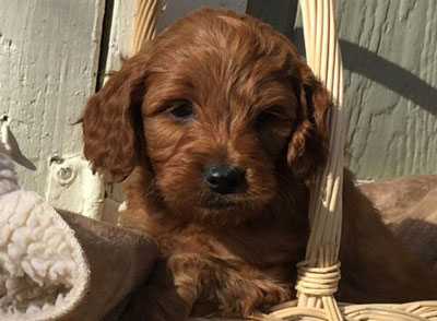 Irish Doodle Upcoming Litters